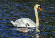 Mute swan, cygnus olor, mother and baby. Floating on water stock photo