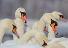 Mute Swan - Cygnus olor. Group of birds in winter on a frozen river royalty free stock photo