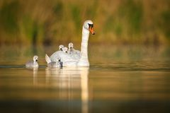 Mute Swan & x28;Cygnus olor& x29;. Swimming accross the lake with it& x27;s little duckling in the morning royalty free stock photography