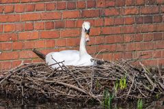 Mute swan Cygnus olor on nest.  royalty free stock photos