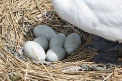 Mute swan, Cygnus olor Royalty Free Stock Photography