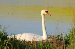 Mute swan Cygnus olor on nest Royalty Free Stock Photo
