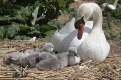 Mute swan, Cygnus olor. On nest with young, Abbotsbury, Dorset, spring stock photography