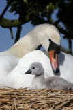 Mute swan, Cygnus olor Royalty Free Stock Photo