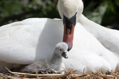 Mute swan, Cygnus olor Stock Photography