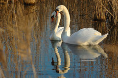 Mute swan (Cygnus olor). Pair of mute swans swimming in the pond Royalty Free Stock Photography