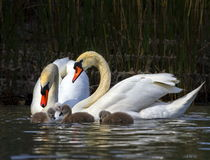 Mute swan, cygnus olor, parents and babies Stock Photo
