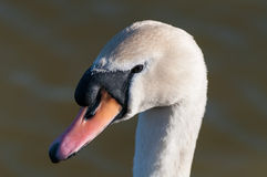 Mute Swan (Cygnus olor) on a pond Stock Images