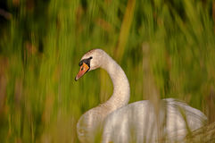 Mute Swan (Cygnus olor) among the reeds. Interesting, beautiful, delicate image rapprochement mute swan (Cygnus olor) among the reeds on the pond, on a sunny Stock Images