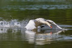 Mute swan Cygnus olor running on water surface. Natural mute swan Cygnus olor running on the water Stock Images