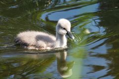 Young Mute swan, Cygnus olor swimming on a lake stock images