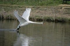 Mute swan, Cygnus olor Stock Image