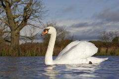 Mute swan, Cygnus olor. Single bird on water royalty free stock photography