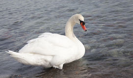 Mute swan, Cygnus olor, single bird on water Royalty Free Stock Photography