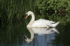 Mute swan ,Cygnus olor. Single bird on water, Wales royalty free stock images