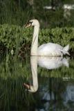 Mute swan ,Cygnus olor Royalty Free Stock Image