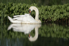 Mute swan ,Cygnus olor Royalty Free Stock Photography