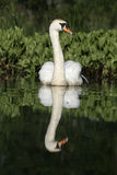 Mute swan ,Cygnus olor Royalty Free Stock Photo