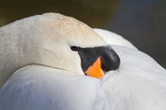 Mute swan (Cygnus olor) sleeping Stock Images