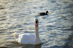 Mute Swan - Cygnus olor. Slovak generic name of bird genera Cygnus stock photo