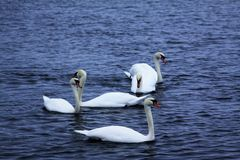 The mute swan. Cygnus olor is a species of swan and a member of the waterfowl family Anatidae. It is native to much of Eurasia, and as a rare winter visitor the Royalty Free Stock Photos