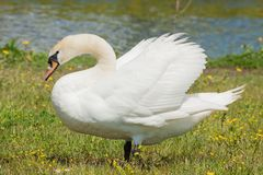 Mute Swan Cygnus olor in the Park. The mute swan Cygnus olor is a species of swan and a member of the waterfowl family Anatidae. It is native to much of Eurasia stock photos