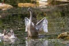 Mute swan (Cygnus olor) Stock Photography