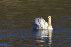 Mute swan Cygnus olor swiming in the lake Stock Photo