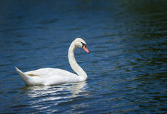 Mute swan (Cygnus olor) swimming Royalty Free Stock Photos
