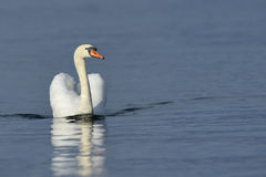 Mute swan (Cygnus olor Stock Photo