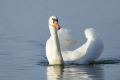 Mute swan (Cygnus olor Royalty Free Stock Images