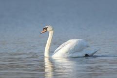 Mute swan, Cygnus olor Royalty Free Stock Image