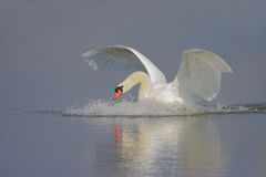 Mute Swan/Cygnus olor/. Royalty Free Stock Photography