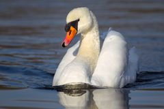 Mute swan Cygnus olor. Swimming in a lake in the nature reserve Moenchbruch near Frankfurt, Germany stock photos