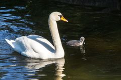 Free Mute Swan, Cygnus Olor Swimming On A Lake Stock Photography - 139476912