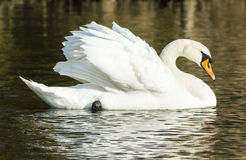 Mute swan (Cygnus olor). Swimming past in profile with wings raised stock photography