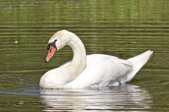 A Mute Swan, Cygnus olor, swimming on a pond. stock image