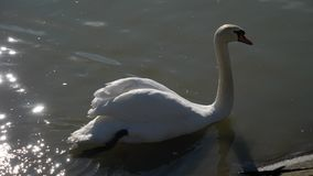 Mute swan Cygnus Olor swimming through reflections of sun on water, then landing stock video