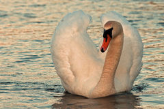 The mute swan Cygnus olor. Swimming in the sea in the evening sun royalty free stock photo