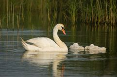 Mute swan (Cygnus olor). Mute swan swimming with their young Royalty Free Stock Images