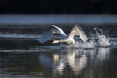 Mute Swan Cygnus Olor taking off into flight Royalty Free Stock Images