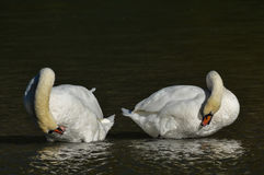 Mute Swan clean oneself Royalty Free Stock Image