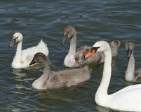 Mute swan, Cygnus olor, with white and grey ducklings. Stock Photography