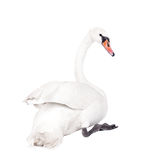 The mute swan, cygnus olor, on white Stock Image