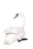 The mute swan, cygnus olor, on white Royalty Free Stock Image