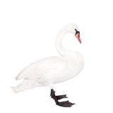 The mute swan, cygnus olor, on white Royalty Free Stock Photo