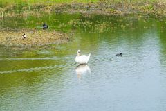 Mute swan - Cygnus olor. White mute swan Cygnus olor on a lake royalty free stock photo
