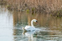 Mute swan - Cygnus olor. White mute swan Cygnus olor on a lake royalty free stock photos