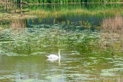 Mute swan - Cygnus olor. White mute swan Cygnus olor on a lake royalty free stock image