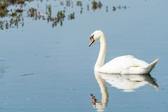 Mute swan - Cygnus olor. White mute swan Cygnus olor on a lake stock images